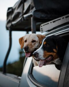 Team FBC member dogs hanging out of a window